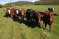 Cattle near Didcot Farm - geograph.org.uk - 779617.jpg