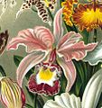 Cattleya × ballantiniana.jpg