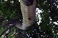 Cecropia obtusifolia 23zz.jpg