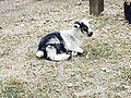 Cedar Point animal farm baby goat (3006).jpg
