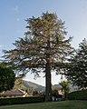 Cedro del Libano a Casella.jpg