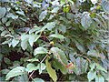 Cephalanthus occidentalis 6zz.jpg