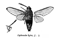 CephonodesHylas.png