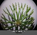 Ceratophyllum demersum s. str. sl3.jpg