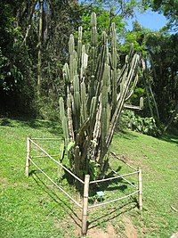 Cereus pernambuscensis - Jardim Botânico de São Paulo - IMG 0175