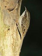 Certhia familiaris brittanica, Gosforth Park 1a.jpg