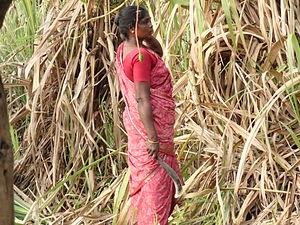 Jaggery - Cutting of sugar cane in a field in India.