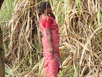 Jaggery - Cutting sugarcane in a field in India.
