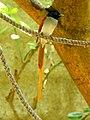 Ceylon paradise flycatcher (male) - Sri Lanka (1).jpg