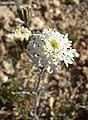 Chaenactis stevioides 4.jpg