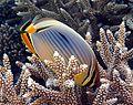 Chaetodon trifasciatus en Maldivas.jpg