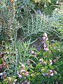 Chamaecytisus purpureus, Myrtus tarentinus & Cynara humilis baeticus (8865998655).jpg