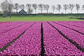 Characteristic for Holland. Growth of millions of tulps for the export of the bulbs - panoramio.jpg