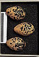 Charadrius morinellus MWNH 0297.JPG