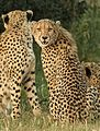 Cheetah, Acinonyx jubatus, at Pilanesberg National Park, Northwest Province, South Africa. (26977245573).jpg