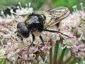 Cheilosia illustrata (Diptera sp.) male, Elst (Gld), the Netherlands.jpg