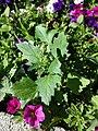 Chenopodium murale sl34.jpg