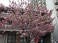 """Cherry-Blossom-Viewing through the """"Tunnel"""" at Japan Mint in 201504 015.JPG"""