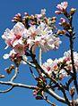 Cherry blossoms Lake Balboa (20140330-0336).JPG