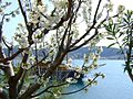 Cherry flower, sea, and ship ... - panoramio.jpg
