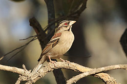 Chestnut-backed Sparrow-Weaver, Sakania, DRC (7669958414).jpg