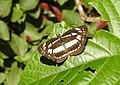 Chestnut-streaked Sailer Neptis jumbah by Dr. Raju Kasambe DSCN4947 (4).jpg