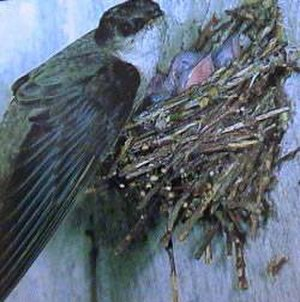 Chimney swift - The nest is made of small, short twigs glued together with saliva.
