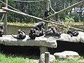 Chimps wiki.JPG