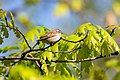 Chipping sparrow (26435366325).jpg