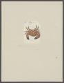 Chlorodius eudora - - Print - Iconographia Zoologica - Special Collections University of Amsterdam - UBAINV0274 094 16 0004.tif