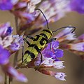 Chlorophorus varius, Vic-la-Gardiole 02.jpg