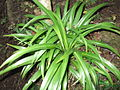 Chlorophyttum capense-BSI-yercaud-salem-India.JPG