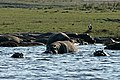 Chobe National Park, Hippos - panoramio.jpg