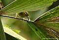 Chocó Warbler (446117179).jpg