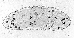 definition of mitochondrion