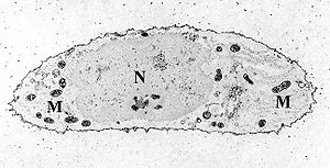 Mitochondrion - Transmission electron micrograph of a chondrocyte, stained for calcium, showing its nucleus (N) and mitochondria (M).