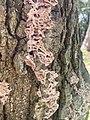 Chondrostereum purpureum 114461833.jpg