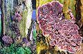 Chondrostereum purpureum syn. Stereum purpureum (GB=Purple silverleaf, D= Violetter Knorpelschichtpilz, NL= Paarse korstzwam) white spores and causes Silver leaf disease (loodglansziekte), at Arnhem - panoramio (1).jpg