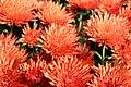 Chrysanthemum Alberta 0zz.jpg