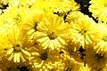Chrysanthemum Urano Yellow 0zz.jpg