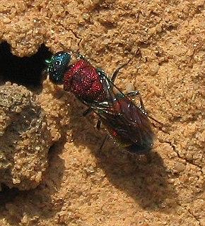 Chrysidoidea superfamily of insects