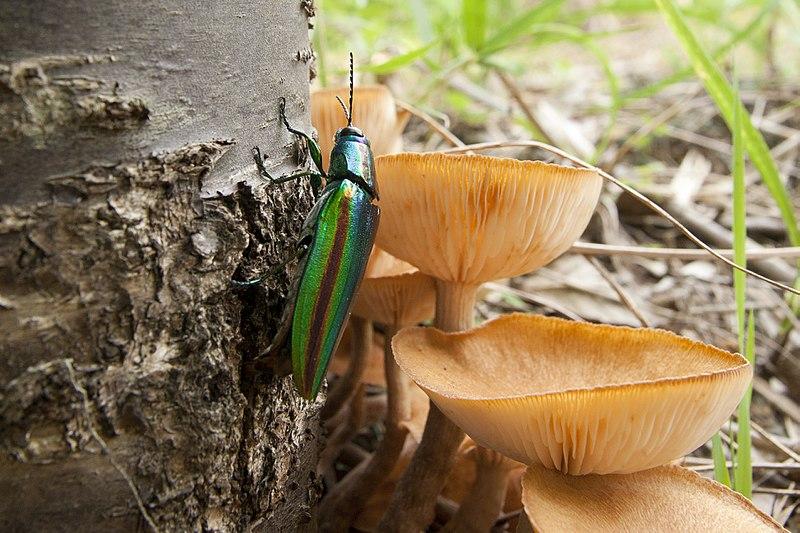 File:Chrysochroa fulgidissima 01.jpg