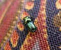 Chrysomelidae - Flickr - gailhampshire.jpg