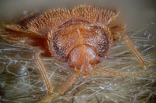 Cimex lectularius (bed bug) (5975362751)