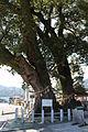 Cinnamomum camphora (Owase-jinja s2).JPG
