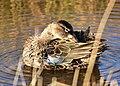 Cinnamon teal at Seedskadee National Wildlife Refuge (27156151407).jpg