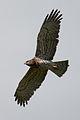 Circaetus gallicus Punta Carnero 1.jpg