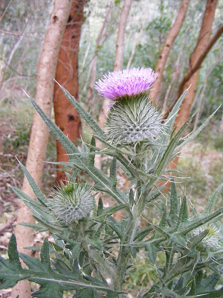 Spear Thistle (Cirsium vulgare) is one of the national emblems of Scotland and has been introduced to various other countries – in this case, Australia.