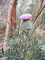 Cirsium vulgare - Banks of the Torrens.jpg
