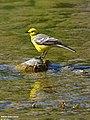 Citrine Wagtail (Motacilla citreola) (27724738532).jpg